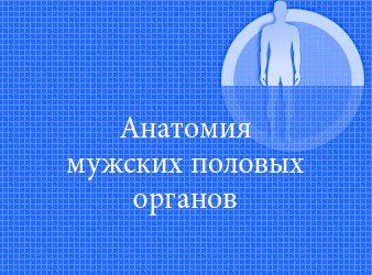 Анатомия мужских половых органов